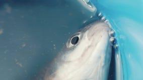 Feche acima dos peixes na cubeta com a boca de respiração da água após travado por caçadores furtivos filme