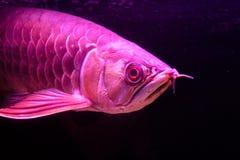 Feche acima dos peixes vermelhos dourados de Arowana da cauda isolados no fundo preto imagem de stock royalty free