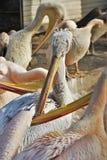 Feche acima dos pelicanos em seu ambiente natural foto de stock royalty free