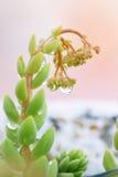 Feche acima dos pingos de chuva no sedum Imagens de Stock Royalty Free