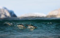Feche acima dos pinguins de Gentoo que mergulham na água imagens de stock