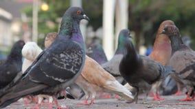 Feche acima dos pombos em mover-se rápido da rua filme
