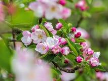 Feche acima dos ramos da árvore de maçã selvagem na flor completa imagem de stock