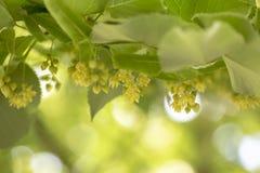 Feche acima dos ramos de florescência do Linden durante o tempo de mola foto de stock