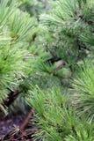 Feche acima dos ramos de pinheiro Fotos de Stock Royalty Free