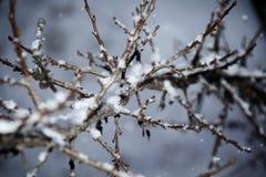 Feche acima dos ramos na neve imagem de stock