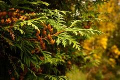 Feche acima dos ramos verdes do zimbro Fundo textured zimbros Foto de Stock