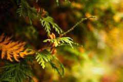 Feche acima dos ramos verdes do zimbro Fundo textured zimbros Imagem de Stock