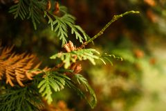 Feche acima dos ramos verdes do zimbro Fundo textured zimbros Imagens de Stock
