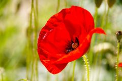 Feche acima dos rhoeas comuns vermelhos de Poppy Papaver, do Papaveraceae da família de papoila fotografia de stock royalty free