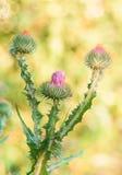 Feche acima dos thistles roxos no verão Fotos de Stock Royalty Free