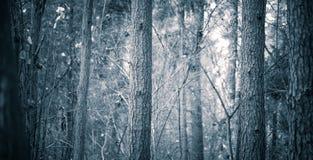 Feche acima dos troncos de árvores assustadores na floresta da queda Foto de Stock