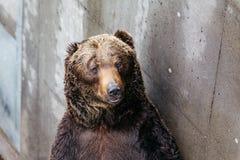Feche acima dos ursos de Brown aumentados com fundo concreto no parque do urso de Noboribetsu no Hokkaido, Japão Imagem de Stock Royalty Free