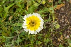 Feche acima dos wildflowers do platyglossa do Layia, chamado geralmente tidytips litoral, Califórnia imagem de stock