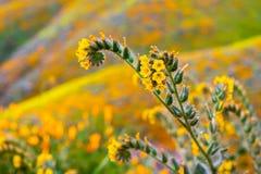 Feche acima dos wildflowers do tesselata do Amsinckia de Fiddleneck que florescem nos montes de Walker Canyon, lago Elsinore, Cal fotografia de stock