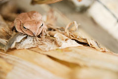 Feche acima e focalize a rã do arbusto, leucomystax do Polypedates, rã de árvore/tipo da névoa na natureza Fotos de Stock Royalty Free
