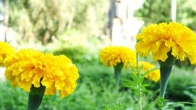 Feche acima em flores do cravo-de-defunto vídeos de arquivo