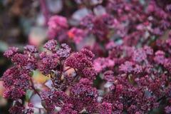 Feche acima em flores vermelhas do crassulaceae Foto de Stock Royalty Free