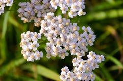 Feche acima em poucas flores brancas e amarelas Fotos de Stock