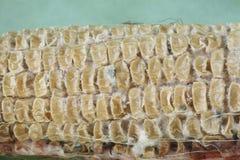 Feche acima em sementes de milho encolhidas secadas Fotos de Stock Royalty Free