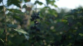 Feche acima em um corinto preto no meio das folhas filme