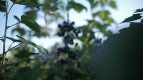 Feche acima em um corinto preto no meio das folhas vídeos de arquivo