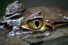 Feche acima em um olho do caimão foto de stock