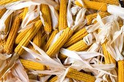 Feche acima em uma pilha grande de espigas de milho frescas orgânicas. Imagem de Stock