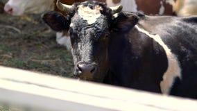 Feche acima em uma vaca de leiteria preto e branco filme