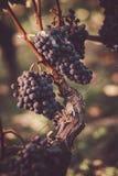 Feche acima em uvas pretas vermelhas em um vinhedo, conceito da colheita da uva imagem de stock