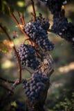Feche acima em uvas pretas vermelhas em um vinhedo, conceito da colheita da uva imagens de stock royalty free