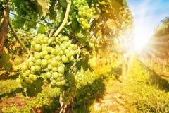 Feche acima em uvas verdes em um vinhedo Imagem de Stock