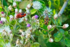 Feche acima insetos vermelhos da imagem macro dos dois e alaranjados vívidos bonito que sentam-se nas flores roxas brancas Foto de Stock