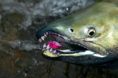 Feche acima na boca e nos dentes de um salmão do amigo foto de stock royalty free