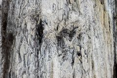 Feche acima na casca do gypsaceum do taxodioxylon Imagem de Stock