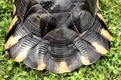Feche acima na cauda de uma tartaruga terrestre rara Imagem de Stock
