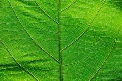 Feche acima na textura verde da folha Imagens de Stock