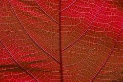 Feche acima na textura vermelha da folha Imagens de Stock Royalty Free