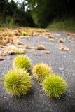 Feche acima nas castanhas inteiras que encontram-se na estrada de floresta na queda Imagens de Stock