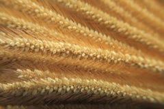 Feche acima no arroz da cevada Foto de Stock Royalty Free