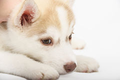 Feche acima no cachorrinho dos olhos do vermelho imagem de stock royalty free