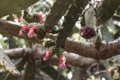 Feche acima no cacto espinhoso na flor Fotografia de Stock Royalty Free