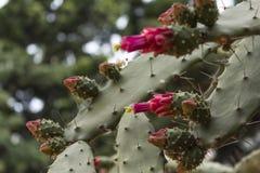 Feche acima no cacto espinhoso na flor Fotos de Stock Royalty Free