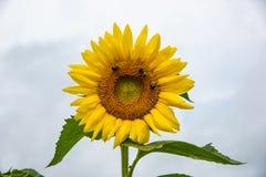 Feche acima no girassol polinated por abelhas imagem de stock royalty free