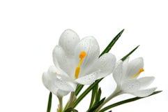 Flor do açafrão com gotas da água Fotos de Stock
