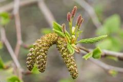 Feche acima nos amentilhos masculinos do femaleand do Alnus maxi, uma árvore de amieiro mowiczii Fotos de Stock
