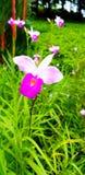 Feche acima orquídea que roxa/branca bonita a flor com borrou o fundo verde de muitas folhas no jardim da planta com espaço da có fotografia de stock