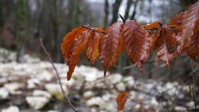Feche acima para as folhas do marrom do outono após a chuva no fundo borrado com metragem do estoque da floresta paisagem natural filme