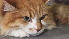 Feche acima verde lindo de um gato eyed do gengibre fotografia de stock royalty free