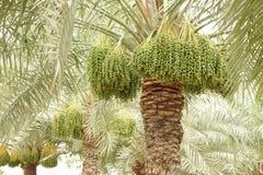 Feche las palmeras con las fechas verdes en el DOF bajo Fotos de archivo libres de regalías